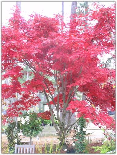 Bloodgood Japanese Maple in fall color